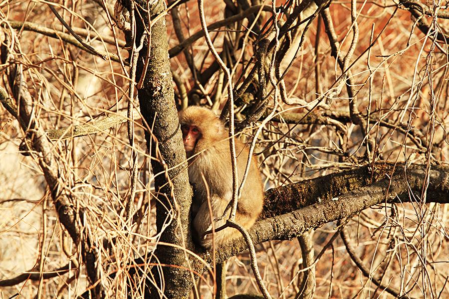 足尾のお猿
