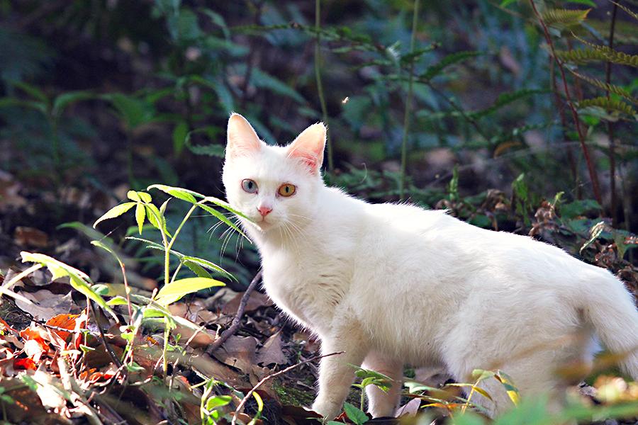 ヘテロクロミアな猫